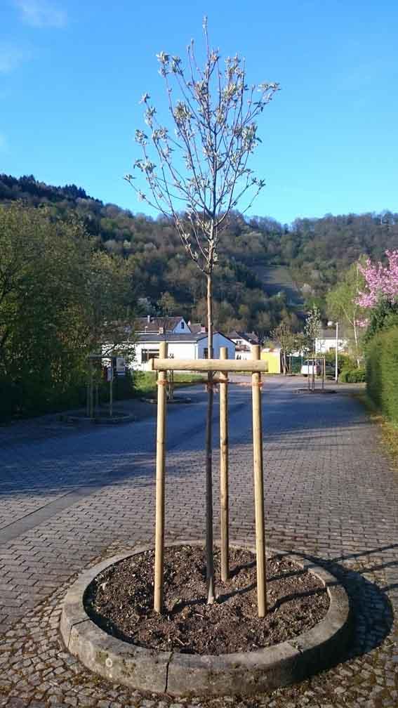 Bäume_Gartenstraße